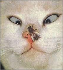 strabisme-des-chats